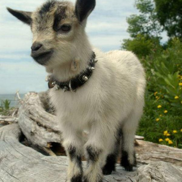 everyone-loves-a-baby-goat-photos-6