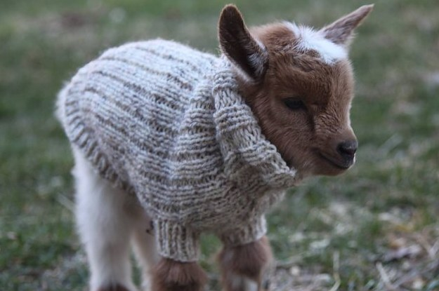these-baby-goats-in-tiny-sweaters-will-make-2-28993-1460819049-5_dblbig